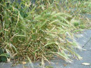 grasaar