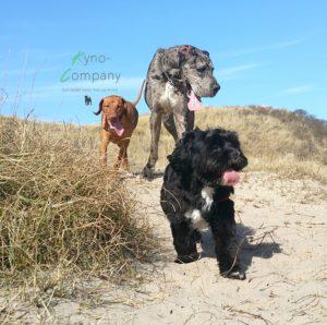 hondenuitlaatservice vizsla deense dog boomer in duinen